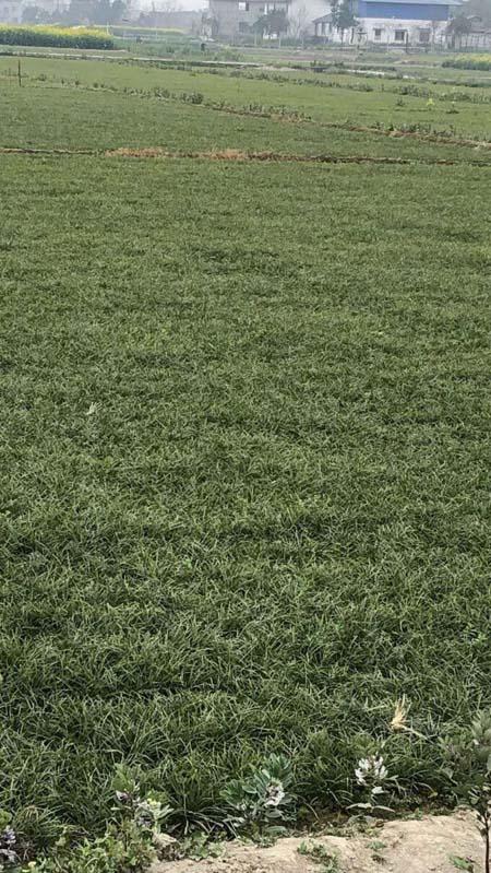 四川三台县麦冬草大量滞销,恳求社会各界帮助渡过难关!-伽5自媒体新闻网-关注民生/资讯/公益/美食等综合新闻的自媒体博客